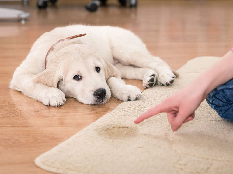 Carpet Cleaners For Old Pet Urine