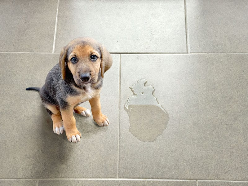 Cleaning Pet Urine