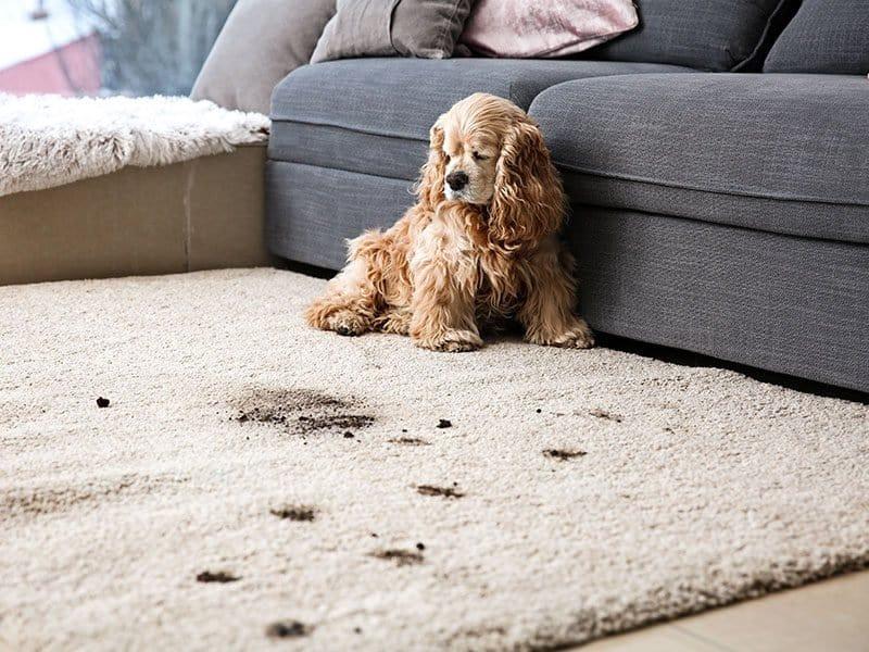 Pet Dirty Carpet