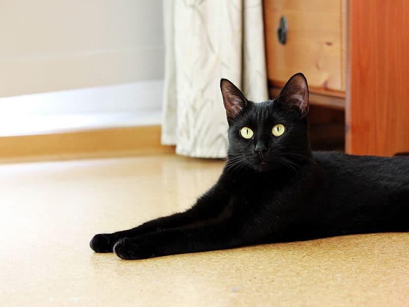Cat Lies on Floor