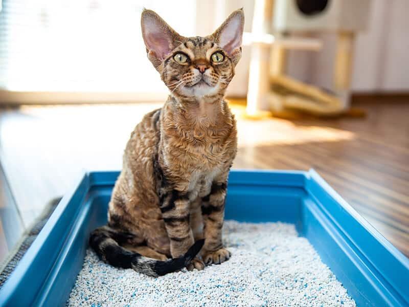 Devon Rex Cat Sitting
