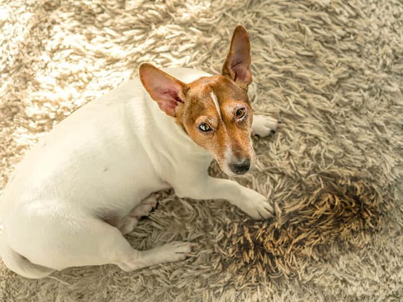 Dog Puddle With Urine
