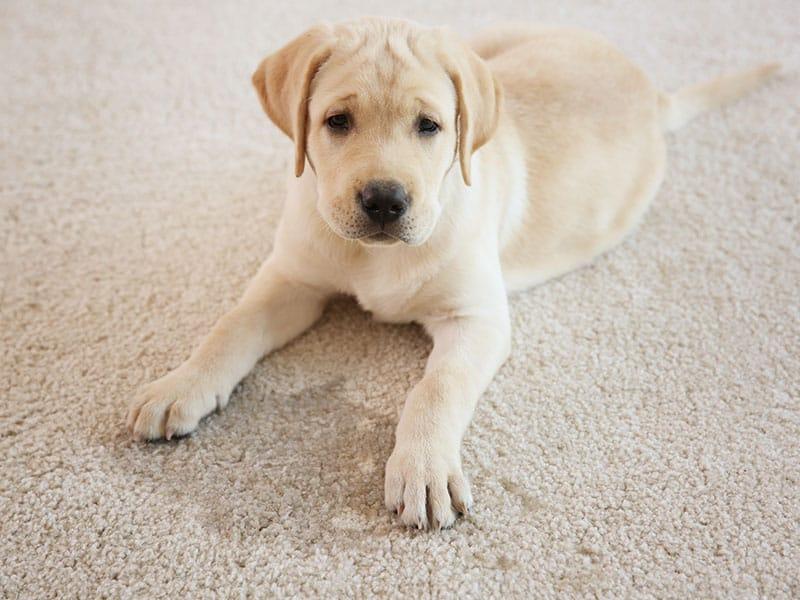 Puppy Lying On Carpet